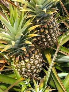 Pineapples at the Haliʻimaile Pineapple Company
